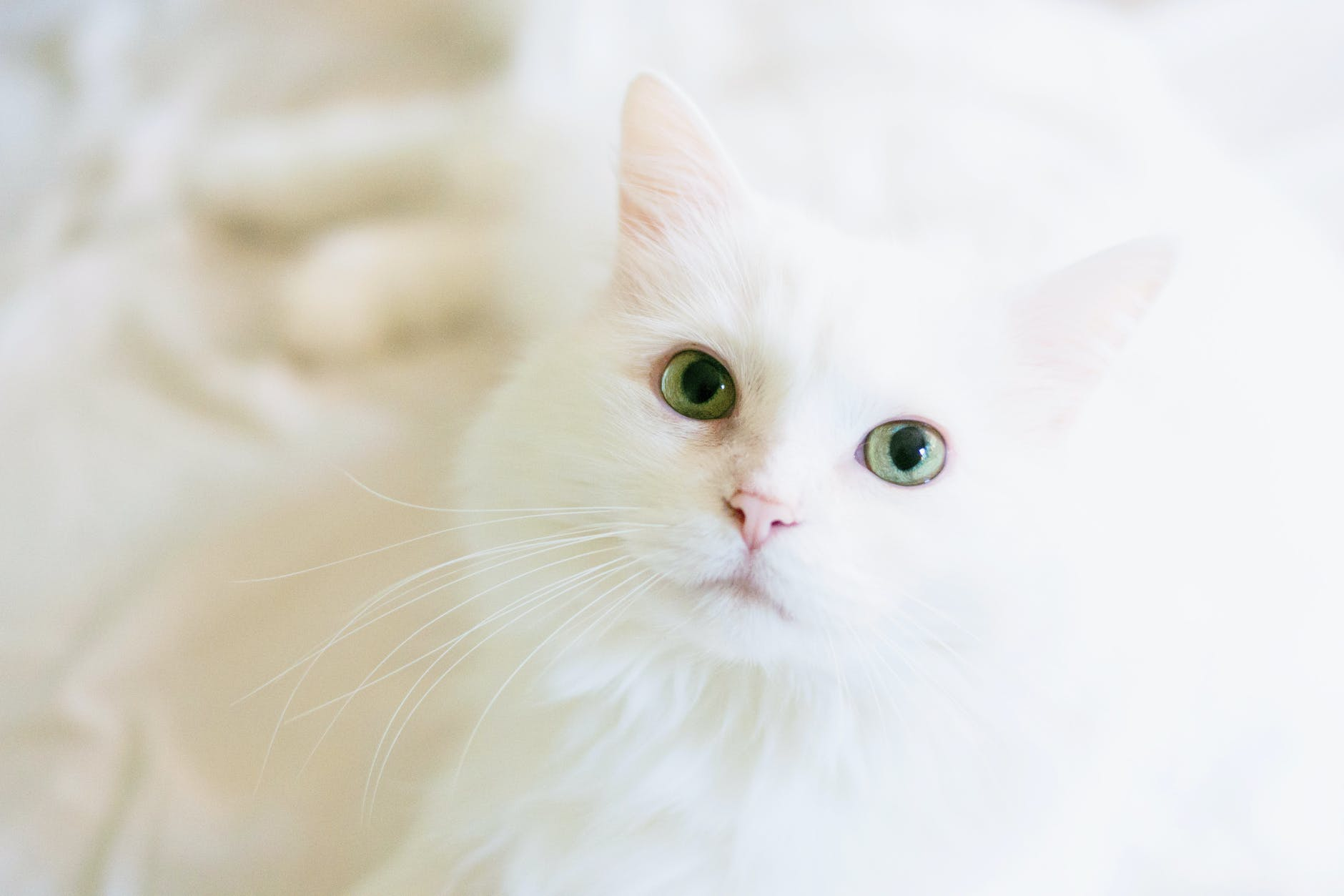 long fur white cat